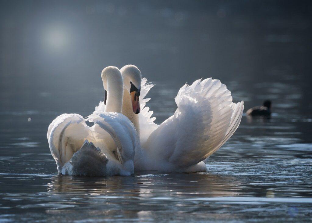 swan, pair, love